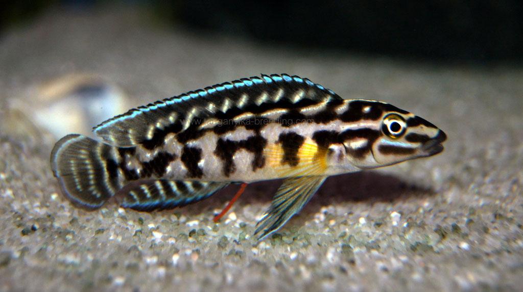 юлидохромис, юлидохромис марлиера, юлидохромис марлиера магара, julidochromis, julidochromis marlieri, julidochromis marlieri magara, julidochromis magara