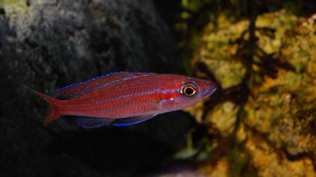 Paracyprichromis nigripinnis blue neon самец