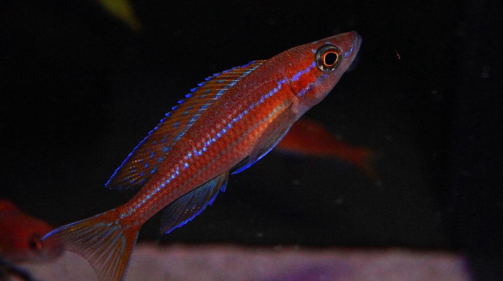 Paracyprichromis nigripinnis blue neon - самец