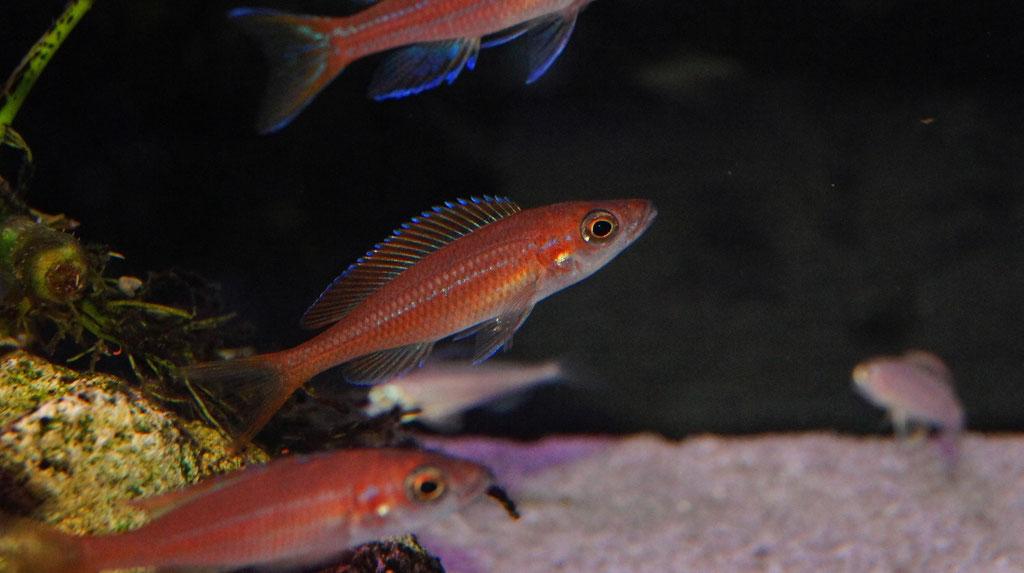 Paracyprichromis nigripinnis blue neon - самка