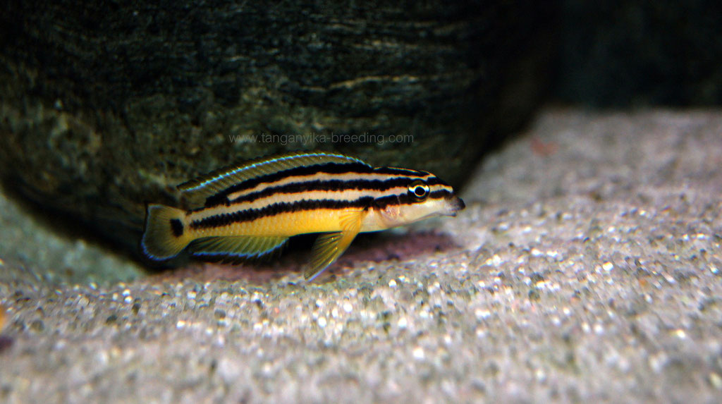 юлидохромис, юлидохромис орнатус, юлидохромис орнатус еллоу заир, julidochromis, julidochromis ornatus, julidochromis ornatus yellow, julidochromis ornatus yellow zaire