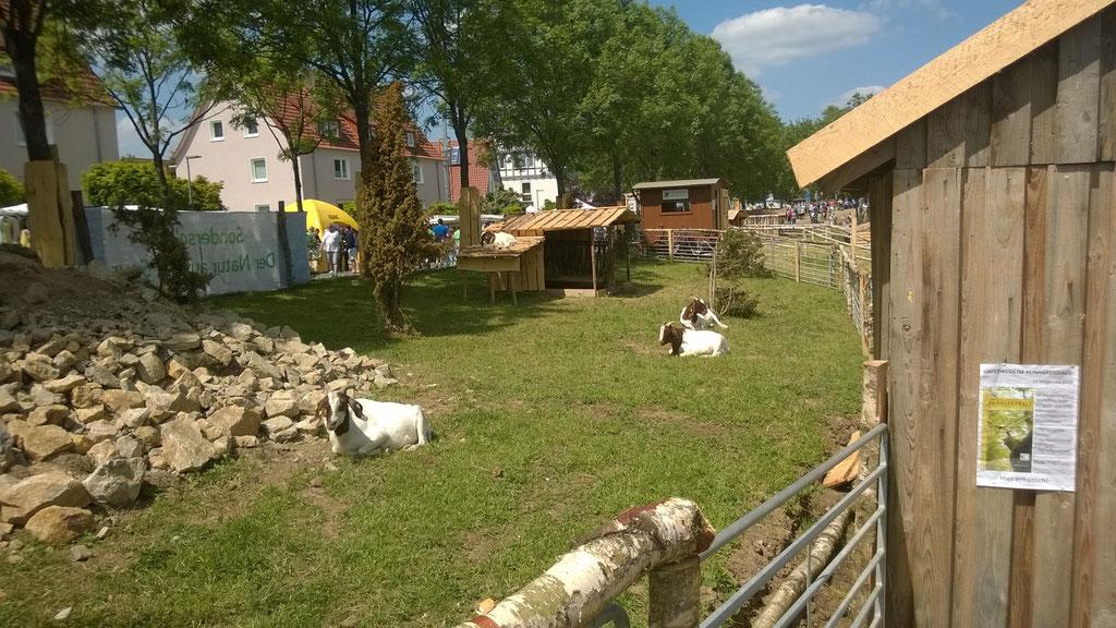 Vielfalt auf Kalk - Magerrasenpflege mit Ziegen