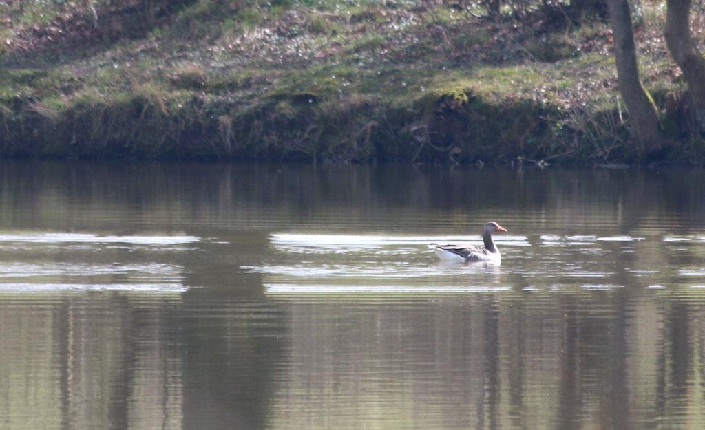 Gans im großen Teich