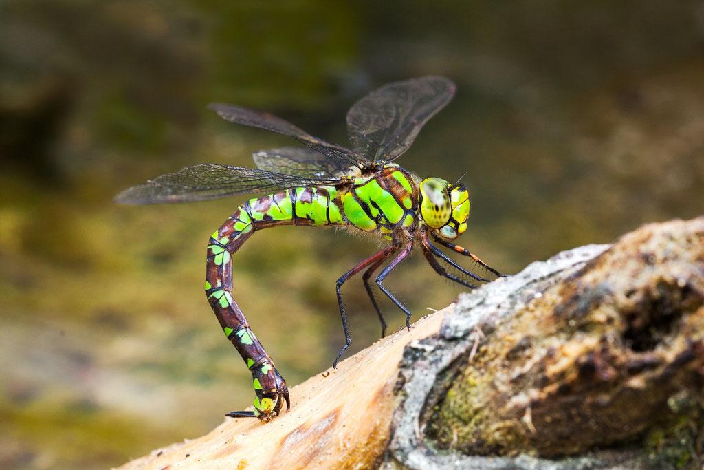 Eine Blaugrüne Mosaikjungfer platziert ihre Eier mittels Legestachel am Hinterleibsende in morsches Holz, knapp über der Wasseroberfläche.
