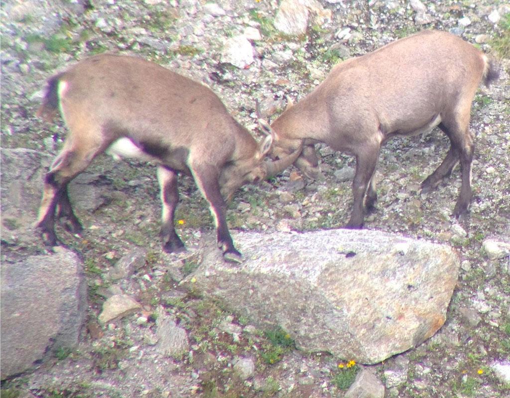 Zwei junge Steinböcke unter dem Roggahora