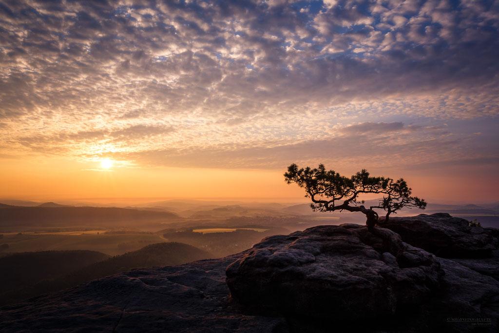Sonnenaufgang auf dem Lilienstein mit der wohl am meist fotografierten Kiefer der Sächsischen Schweiz