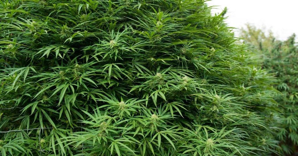 buschige Cannabis Pflanze