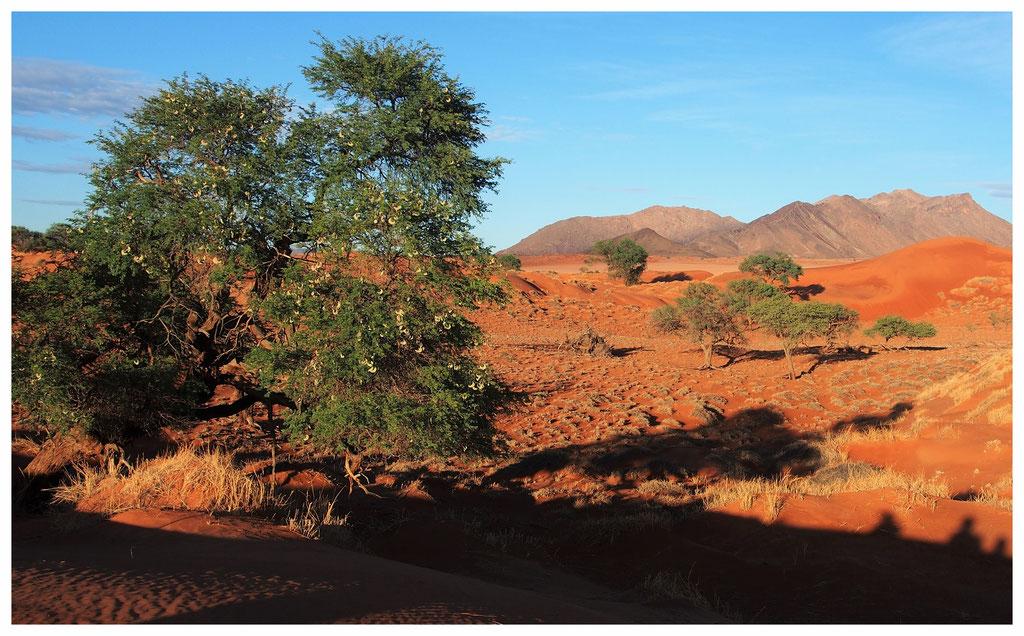 Acacia erioloba de Namibie