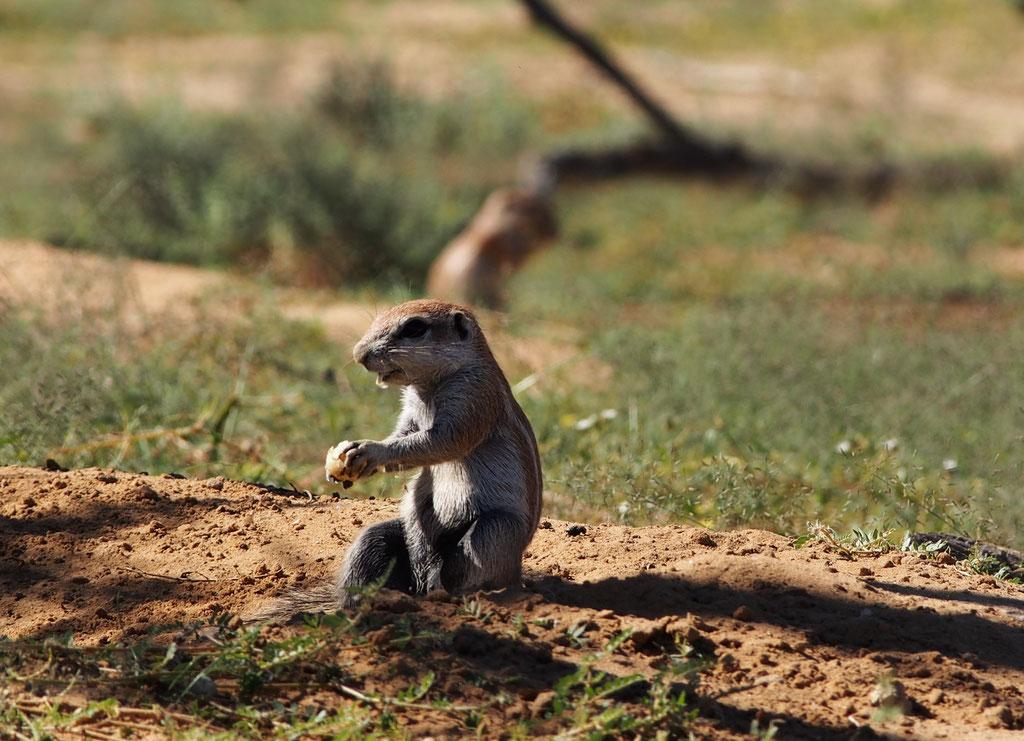 L'écureuil terrestre