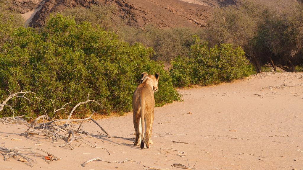 Lions du désert ; Hoanib ; Namibie
