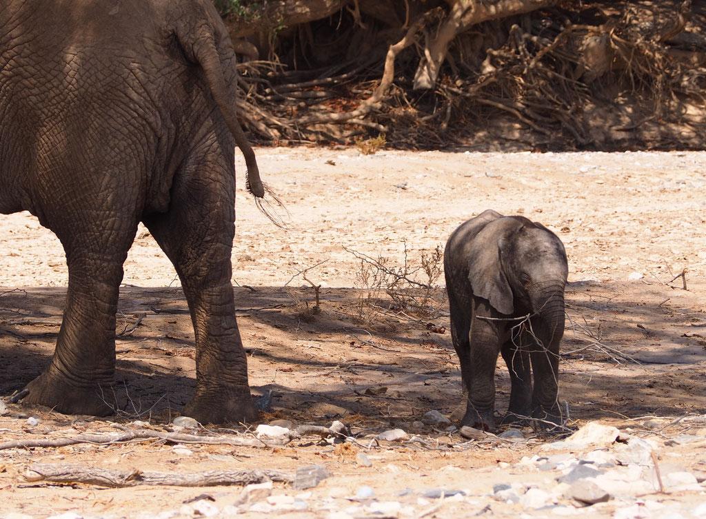 Eléphants du désert ; Hoanib ; Namibie