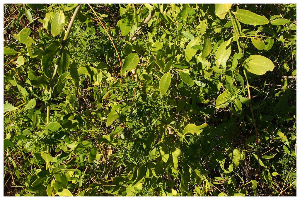 Salvadora persica de Namibie
