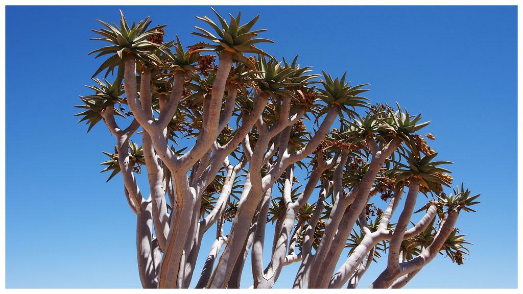 Aloe dichotoma de Namibie