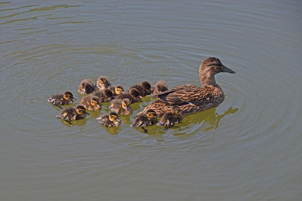 Wilde eend met 12 jongen