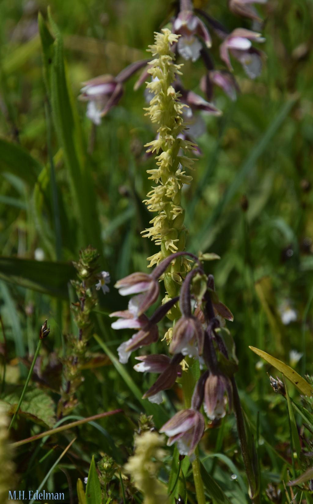 Herminium monorchis - Honingorchis