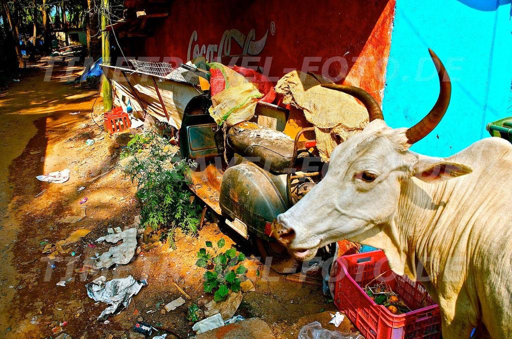 Cow Cola. Foto: E. Knipschild