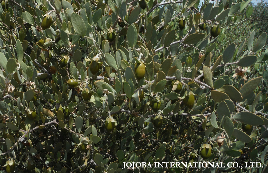 ♔ JOJOBA SEEDS ORIGINAL SPECIES 2019. PHOTOS BY MR. RICK WARREN