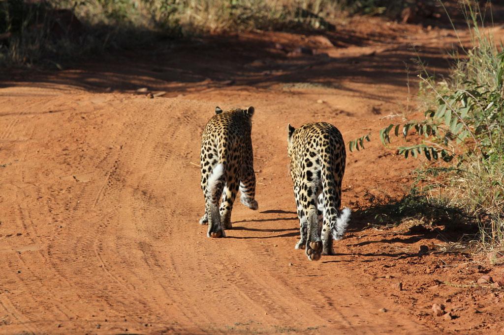 Die 2 Leoprden ( Mutter mit Jungtier ) begleiten uns über längere zeit.