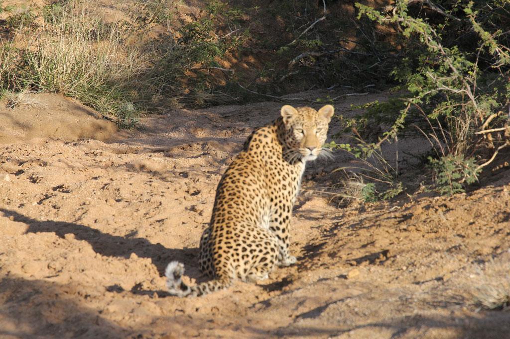 Ein junger Leopard ist uns begegnet auf der Gepardentour