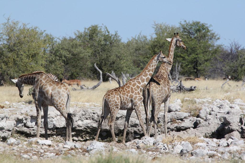 Giraffen am Ombika Wasserloch in der Nähe des Anderson Gate