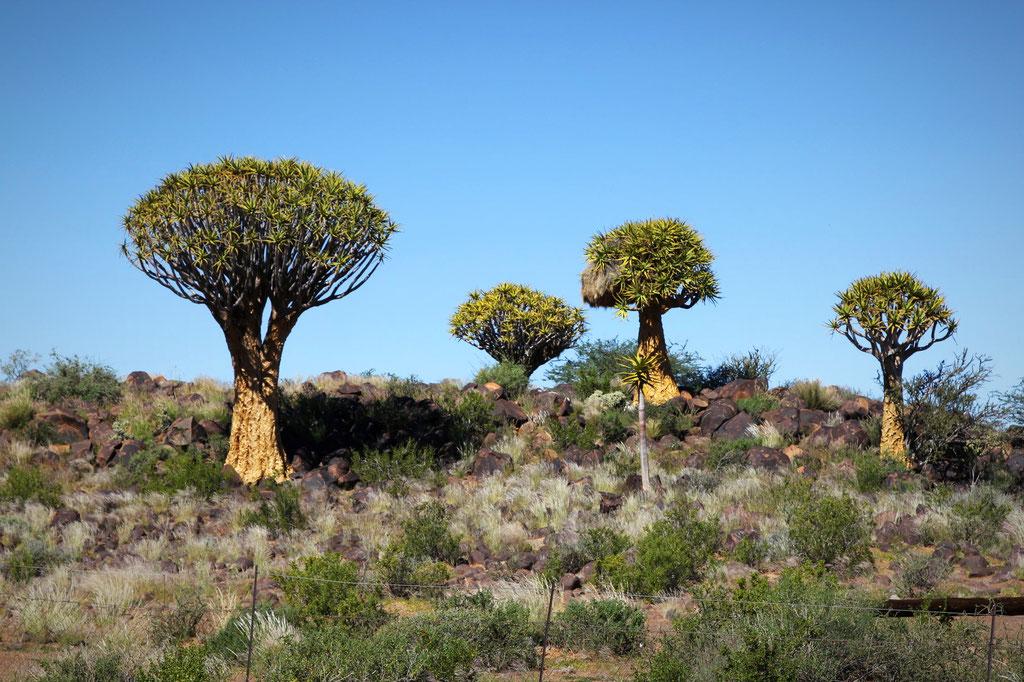 Köcherbäume in der Gegend von Keetmanshoop