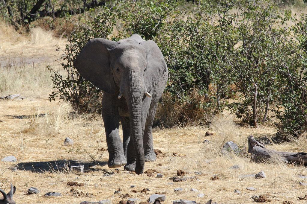 Elephant beim Halali Camp Wasserloch