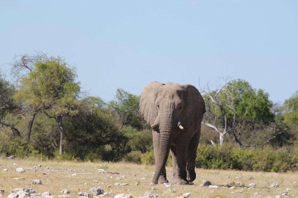Elefant beim Klein Namutoni Wasserloch