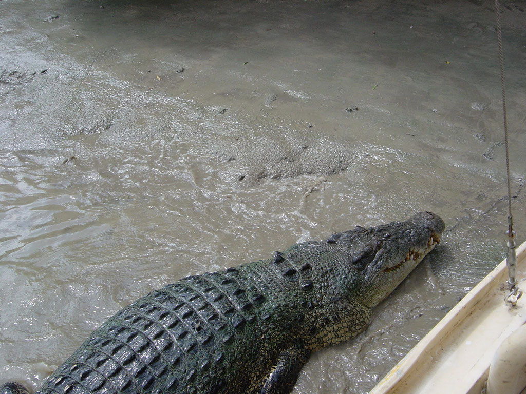 Salzwasser Krokodil im Adelaide  River