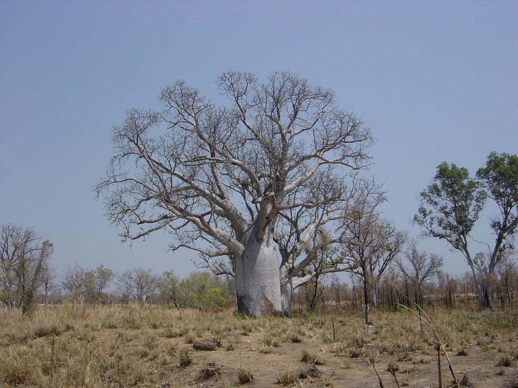 Flaschenbaum in der Gibt River Road