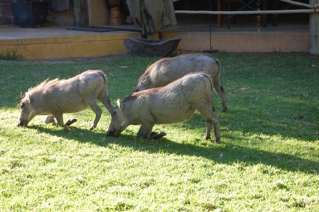 """Jeden Morgen kommen die """" Rasenmäher """" aus der Savanne zur Lodge"""
