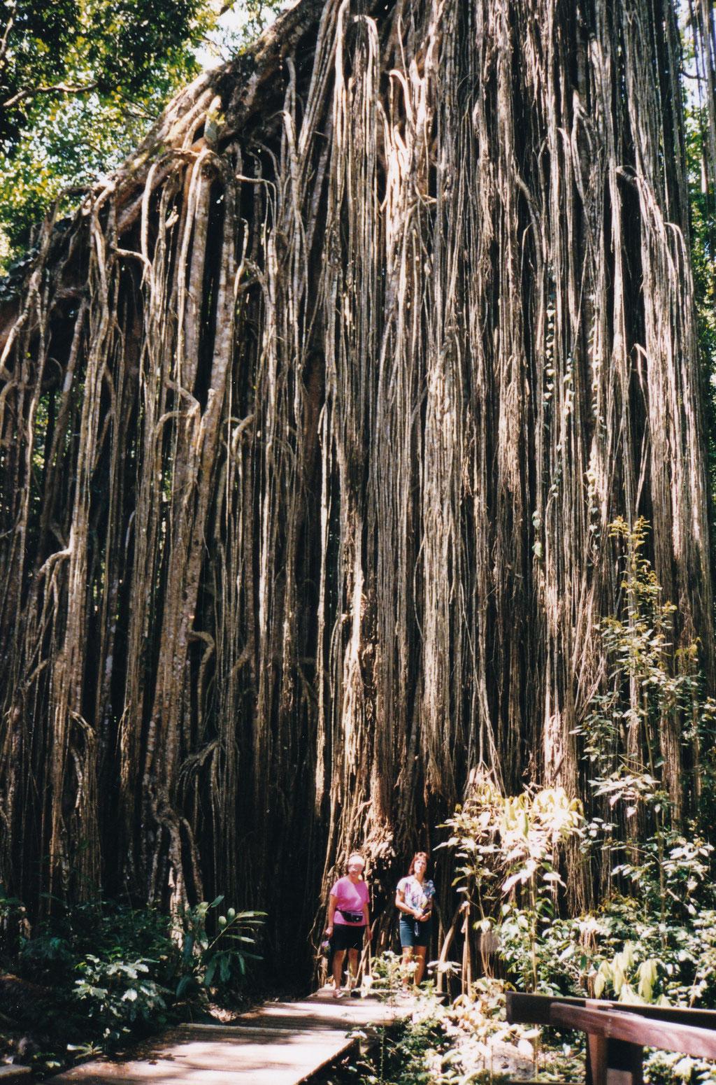 FIG TREE LUFTWURZELBAUM BEI MALANDA