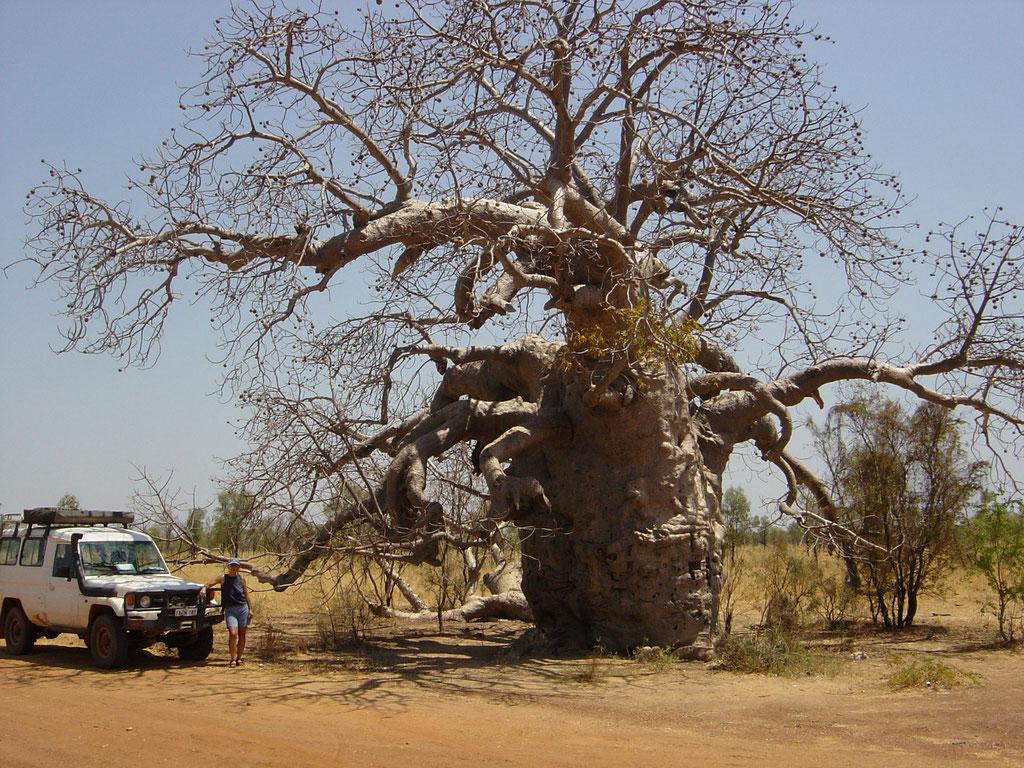 Flaschenbaum an der Gibb River Road