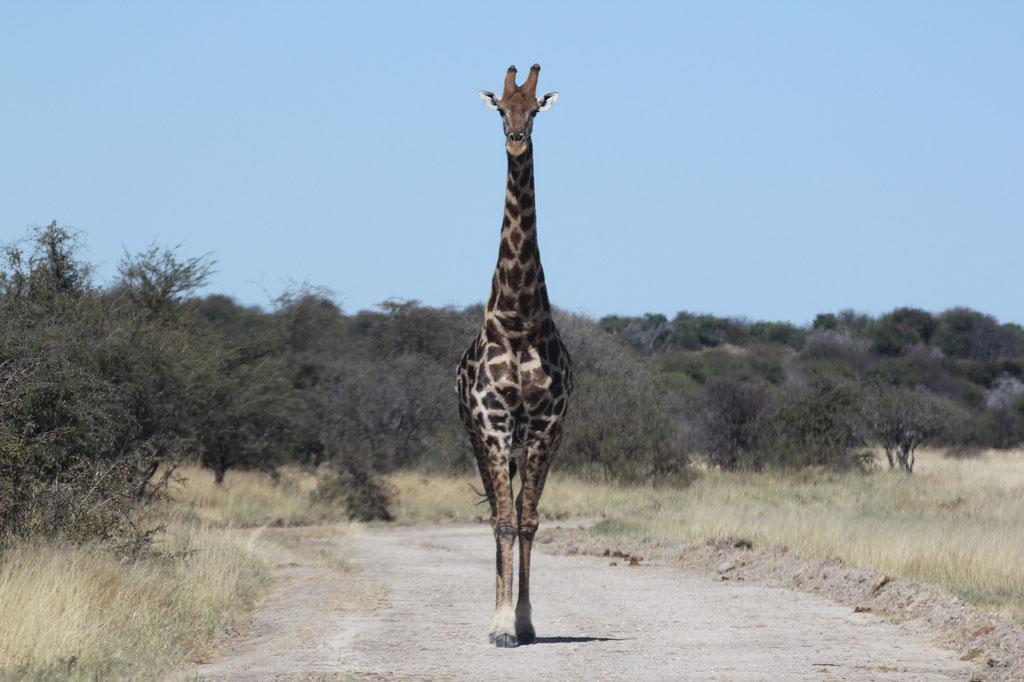 Giraffe beim Andoni Wasserloch