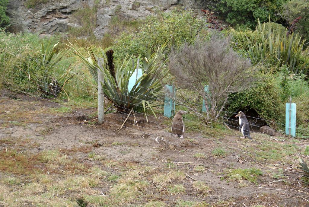 Pinguine auf der Halbinsel Otago