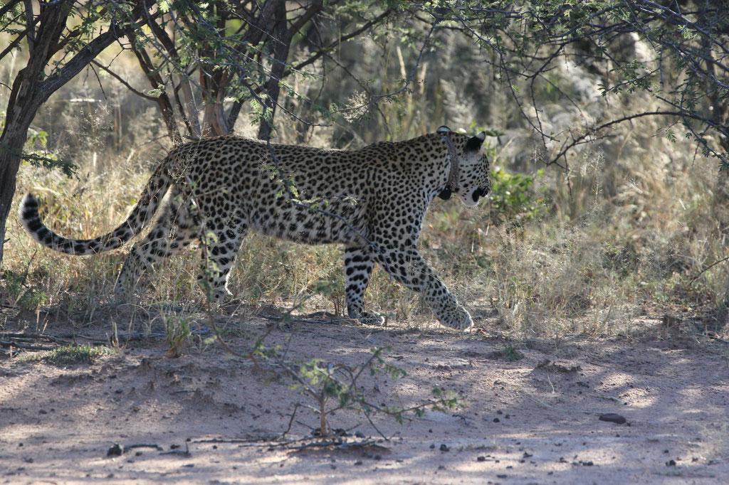 Unser erster Leopard auf freier Wildbahn