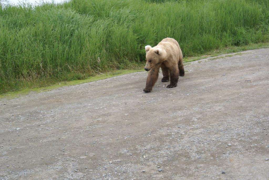 Wieder ein Bär auf dem Wanderweg zur Lodge