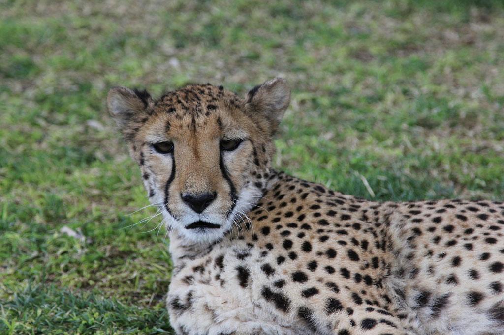 Cheetah beim Farmhaus