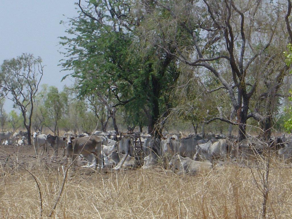 Rinderherde im Outback