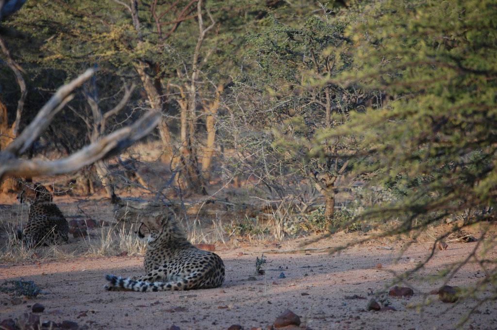 Geparden Siesta nach erfolgreicher Jagt und einer ausgiebigen Mahlzeit