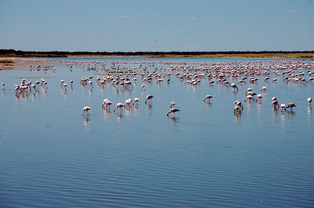 Flamingos bei Fischers Pan