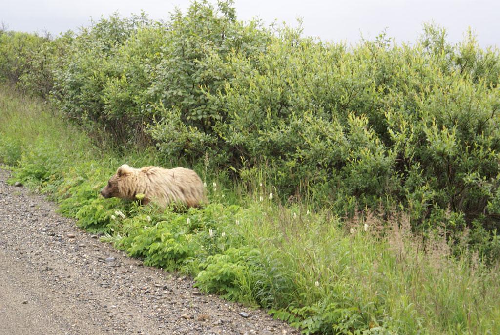Grizzly im Denali Park