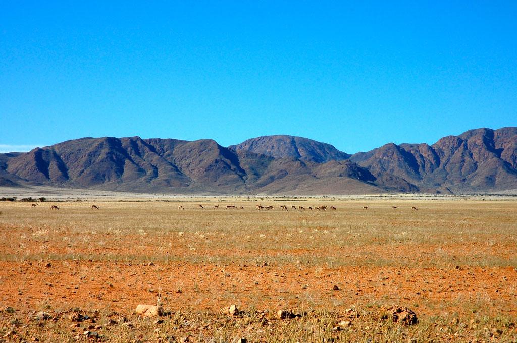 Antilopen am Rande der C27 vor Sesriem