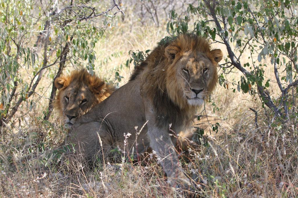 Löwen beim Root Okevi Wasserloch