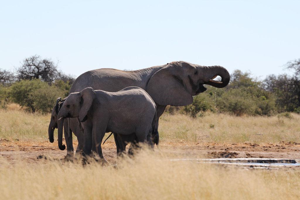 Elefanten am Tsumcor Wasserloch