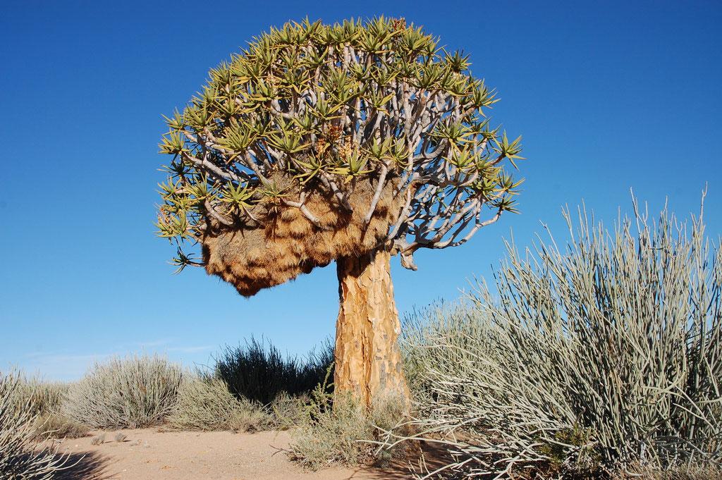 Und wieder ein Köcherbaum, diesmal mit einem Webervogel Nest