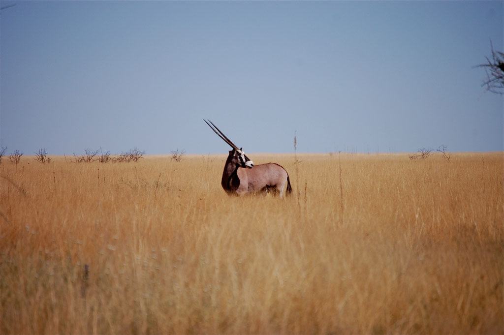 Oryx in der Steppe bei Andoni