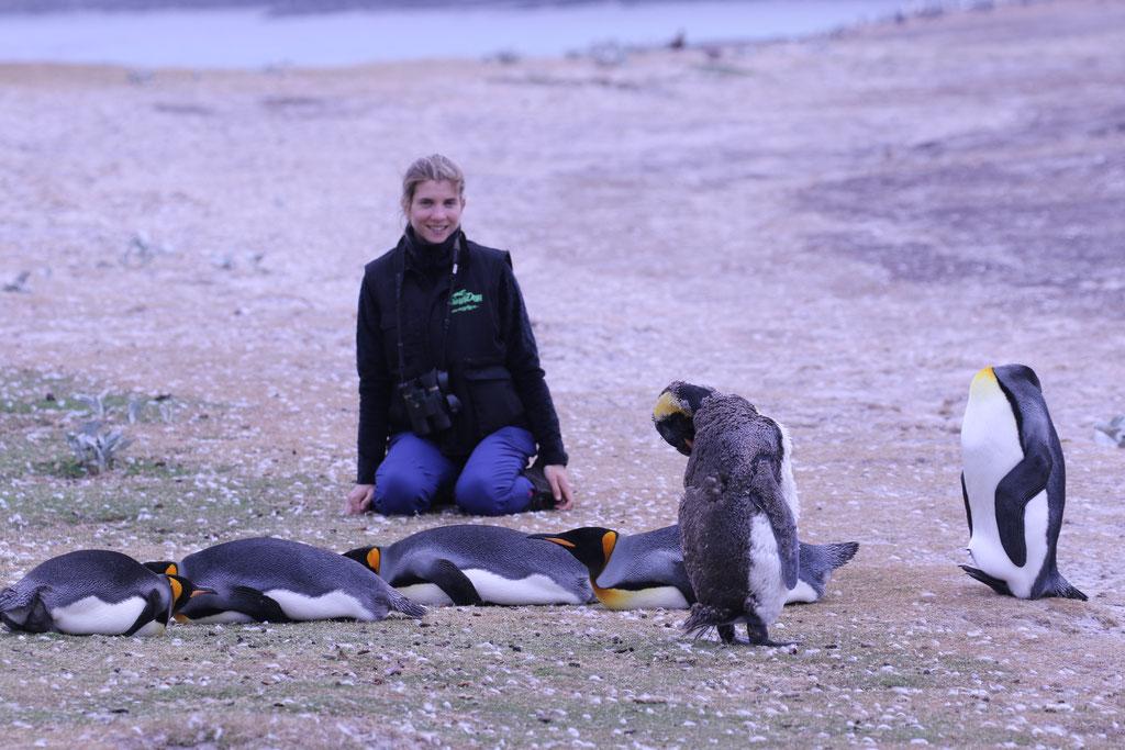"Penguins papúa ""Falkland Islands"""