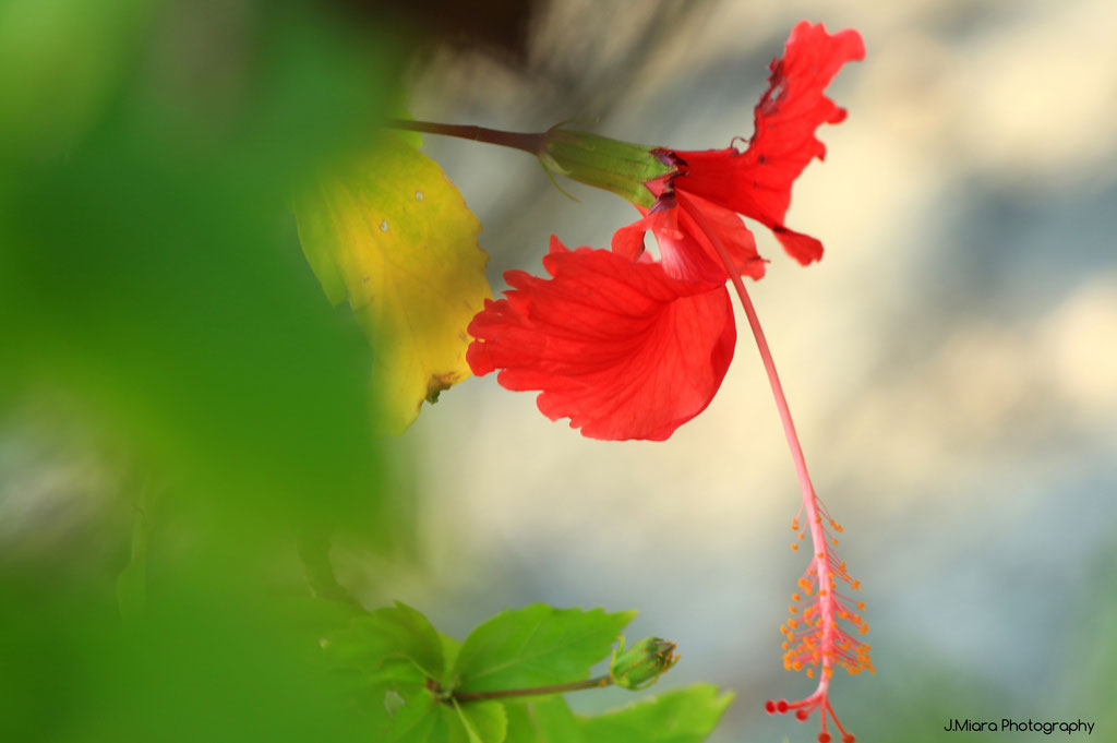 Hibiscus en bord de plage, MANUEL ANTONIO