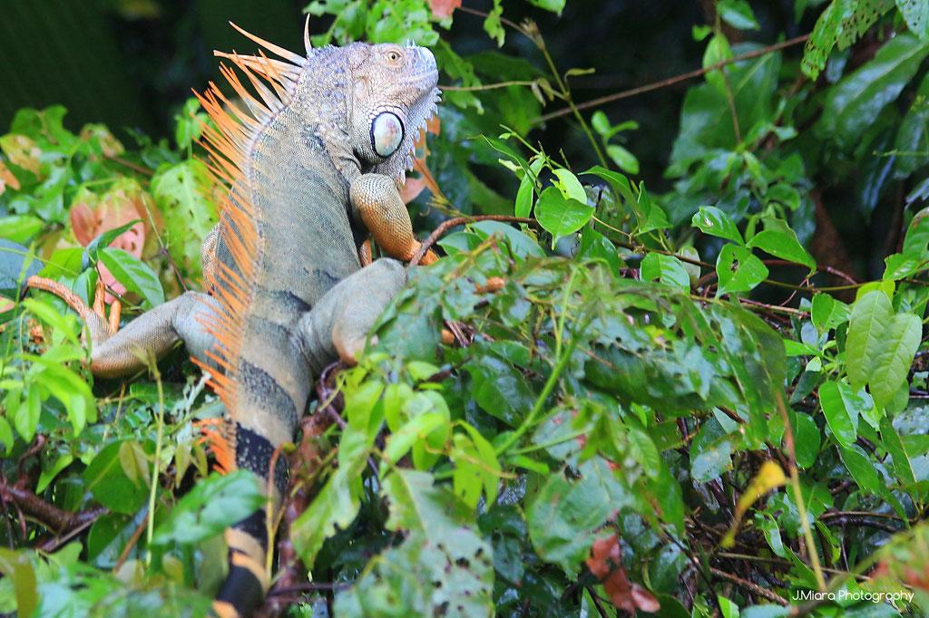 Iguane, TORTUGUERO