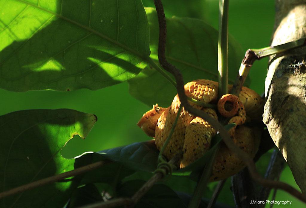 Vipere de Schlegel, CAHUITA